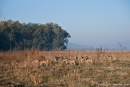 Axishirsche (Axis axis), Spotted Deer