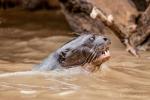 Die Wölfe der Flüsse - Riesenotter (Pteronura brasiliensis), Giant Otter
