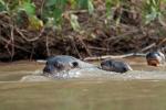 Großfamilie Riesenotter (Pteronura brasiliensis), Giant Otter