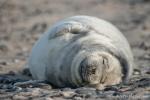 Glücklich und zufrieden - Robbenbaby