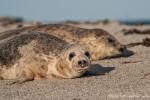 Seehunde (Phoca vitulina) auf der Helgoländer Düne