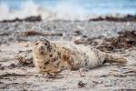 Ein wenig lädiert und ziemlich weinerlich - Seehund