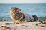 Cool - Seehund (Phoca vitulina)