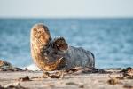 Hi - Seehund (Phoca vitulina)