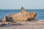 Freundliche Begrüßung - Seehund auf der Helgoländer Düne