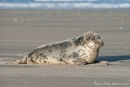 Warten auf die nächste Flut - Robbe auf der helgoländer Düne