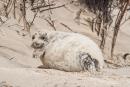 Junge Kegelrobbe (Halichoerus grypus) sucht Schutz in den Dünen