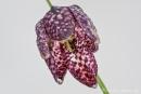 Schachblume (Fritillaria meleagris), auch Schachbrettblume oder Kiebitzei genannt