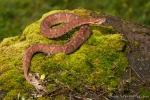 Viper (Bothrocophias campbelli), Ecuadorian Toadhead