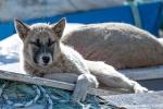 Der Schlittenhund wartet auf den Wintereinsatz