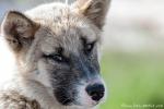 Treuer Blick - Schlittenhund in Ilulissat