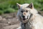 Ziemlich verwahrlost - Schlittenhund