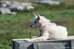Einer der ca. 2.500 Schlittenhunde von Ilulissat