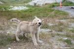 Junger Schlittenhund