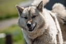 Schlittenhund in Ilulissat