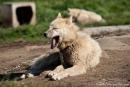 Verschlafen den Sommer - die Schlittenhunde von Ilulissat