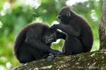 Indonesien - Insel Sulawesi - Tangkoko Batuangus NR