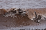 """Heringsmöwen (Larus fuscus) beim """"Surfen"""""""
