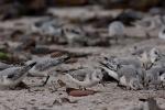 Sanderlinge (Calidris alba)