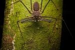 Schwanzlose Peitschen-Skorpion (Phrynus gervaisii), Tailless Whip Scorpion