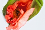 Aufbrechende Mohnblüte