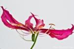 Ruhmeskrone (Gloriosa rothschildiana)