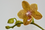 Orchidee (Phalenopsis)