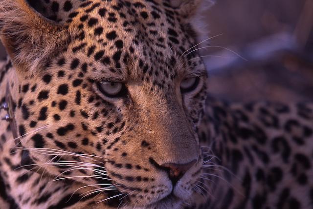 Leopard MC - Okonjima