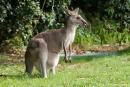 Graues Riesenkänguru (Macropus)