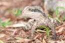 Australische Wasseragame (Physignathus lesueurii), Water Dragon
