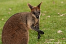 Wallaby - Billabong & Koala Wildlife Park