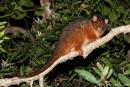 Gewöhnlicher Ringbeutler, (Pseudocheirus peregrinus), Common Brushtail Possum
