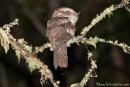 Eulenschwalm (Podargus strigoides), Tawny Frogmouth