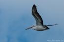 Pelikane ziehen ihre Bahnen über Mallacoota - Croajingolong National Park