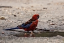Edelpapagei (Eclectus roratus), Eclectus Parrot, Weibchen - Raymond Island