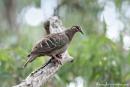 Bronzeflügeltaube (Phaps chalcoptera), Common Bronzewing
