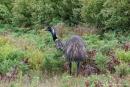 Emu (Dromaius)