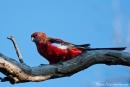 Edelpapagei (Eclectus roratus) Eclectus Parrot