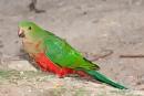 Männlicher Edelpapagei (Eclectus Roratus), Eclectus Parrot - Pebbly Beach