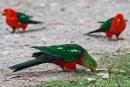 Königssittich (Alisterus scapularis), Australian King-Parrot