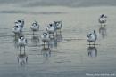 Eilseeschwalbe (Sterna bergii), Crested Tern