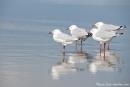 Warten auf Futter - Möwen im Seven Mile Beach National Park