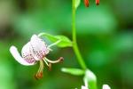 Türkenbundlilie (Lilium martagon)
