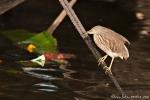 Paddyreiher (Ardeola grayii), Indian Pond-Heron